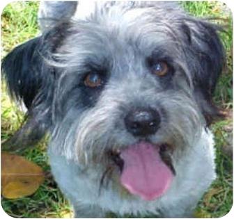 Lhasa Apso/Wheaten Terrier Mix Dog for adoption in Spring Valley, California - DEMPSEY
