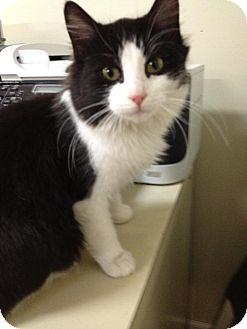 Domestic Mediumhair Kitten for adoption in Monroe, Georgia - Ivy