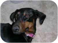 Doberman Pinscher Dog for adoption in Arlington, Virginia - Chance