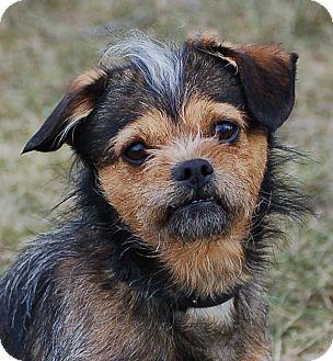 yorkie mixed puppies for sale mn ch adopted dog mora mn border terrier yorkie 9146