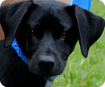 Labrador Retriever Puppy for adoption in Wakefield, Rhode Island - McDUFF(GENTLE-CALN-LAB PUPPY!!