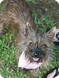 Terrier (Unknown Type, Small)/Yorkie, Yorkshire Terrier Mix Dog for adoption in Portsmouth, Rhode Island - Twinkie-local!