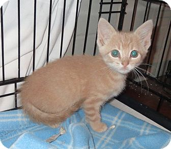 Domestic Shorthair Kitten for adoption in Geneseo, Illinois - Tracker