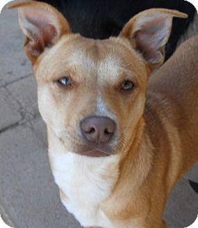 Miniature Pinscher/Terrier (Unknown Type, Small) Mix Dog for adoption in dewey, Arizona - Rusty