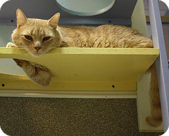 Domestic Shorthair Cat for adoption in Virginia Beach, Virginia - Jeeter