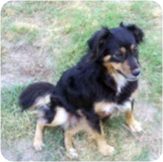 Australian Shepherd Mix Dog for adoption in Savannah, Georgia - Willow