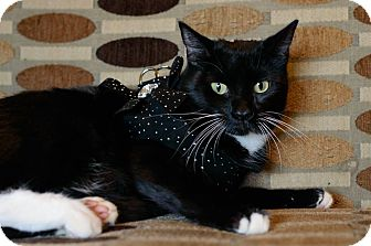 Domestic Shorthair Cat for adoption in Phoenix, Arizona - Sami