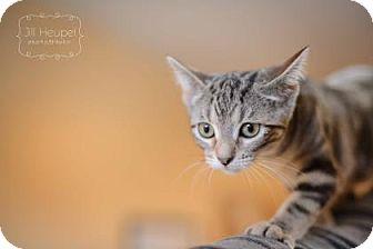 Domestic Shorthair Cat for adoption in Edwardsville, Illinois - Proton