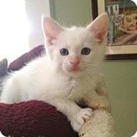 Adopt A Pet :: Cloudtail - Bentonville, AR