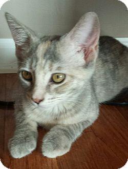 Domestic Shorthair Kitten for adoption in Hillside, Illinois - Wendy-4 MONTHS