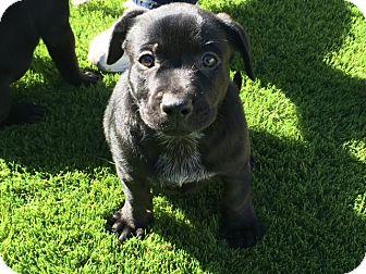 Catahoula Leopard Dog Mix Puppy for adoption in Tempe, Arizona - Leia