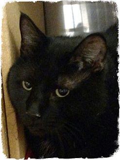 Domestic Shorthair Cat for adoption in Pueblo West, Colorado - Mikey