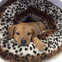 Adopt A Pet :: lucas - Waterbury, CT
