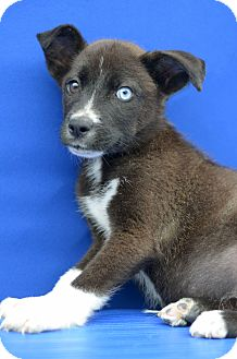 Terrier (Unknown Type, Small) Mix Puppy for adoption in LAFAYETTE, Louisiana - JUSTICE