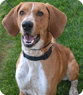 Hound (Unknown Type) Mix Dog for adoption in Fruit Heights, Utah - Barlow
