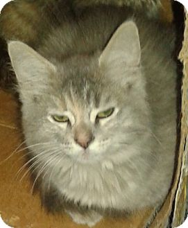 Domestic Mediumhair Kitten for adoption in Whittier, California - Dutchess