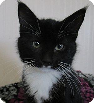 Domestic Shorthair Kitten for adoption in Lloydminster, Alberta - Growlith