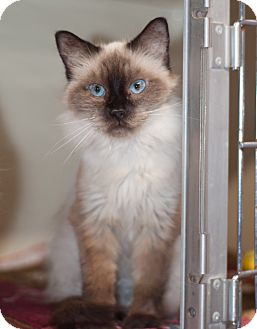 Balinese Cat for adoption in Arlington, Virginia - Sapphire-Blue eyed Beauty