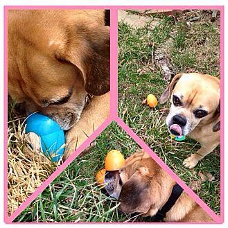 Schnauzer (Miniature) Mix Dog for adoption in Reisterstown, Maryland - Mister