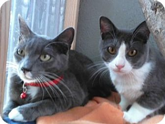 Domestic Shorthair Cat for adoption in Vacaville, California - Bentley and Tarzan