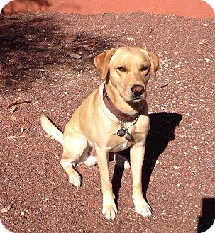 Labrador Retriever Dog for adoption in Phoenix, Arizona - Murphy