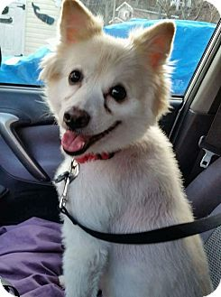 Shiba Inu/American Eskimo Dog Mix Dog for adoption in New Hampton, New York - Bailey