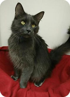 Domestic Longhair Cat for adoption in Oak Park, Illinois - Maxwell