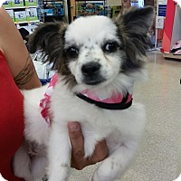 Adopt A Pet :: Sofie - Brea, CA