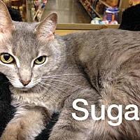 Adopt A Pet :: Sugar - Maryville, TN