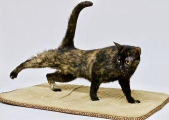 Domestic Shorthair/Domestic Shorthair Mix Cat for adoption in Dayton, Ohio - Appalachia