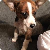 Adopt A Pet :: Shasta - Hartford, CT
