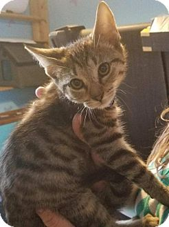 Domestic Shorthair Kitten for adoption in Akron, Ohio - Meenie
