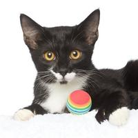 Domestic Shorthair/Domestic Shorthair Mix Cat for adoption in Los Angeles, California - Devin