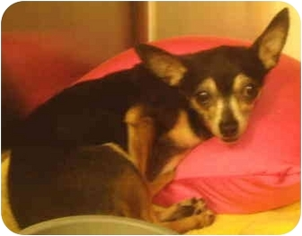 Chihuahua Dog for adoption in House Springs, Missouri - Lola
