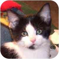 Domestic Shorthair Kitten for adoption in Coleraine, Minnesota - Tux
