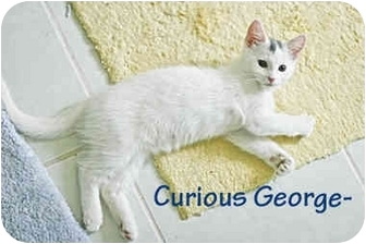 Domestic Shorthair Kitten for adoption in New York, New York - Marshmellow