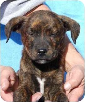 Labrador Retriever/Plott Hound Mix Puppy for adoption in Broomfield, Colorado - Tango