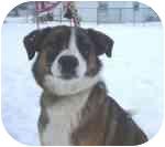 St. Bernard/Collie Mix Puppy for adoption in Plainfield, Illinois - Ajax
