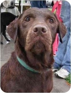 Labrador Retriever Dog for adoption in San Diego, California - CARRINGTON