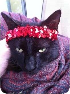 Domestic Shorthair Cat for adoption in Jacksonville, Florida - Kiddie