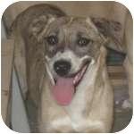 Anatolian Shepherd/Labrador Retriever Mix Dog for adoption in Colorado Springs, Colorado - P-Pam4-Blue