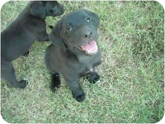 Labrador Retriever Mix Puppy for adoption in Naugatuck, Connecticut - Lanie