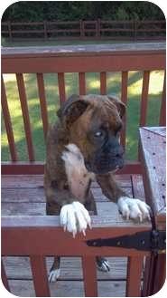 Boxer Dog for adoption in Carrollton, Georgia - Xena