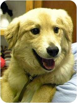 Golden Retriever Mix Puppy for adoption in Hagerstown, Maryland - COTTON