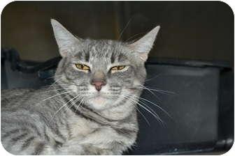 Domestic Shorthair Cat for adoption in San Clemente, California - MARISA