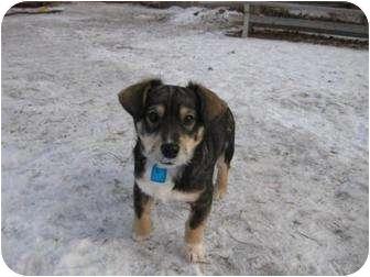 Terrier (Unknown Type, Small)/Corgi Mix Puppy for adoption in Saskatoon, Saskatchewan - Squirt