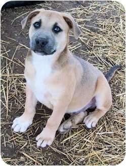 American Staffordshire Terrier/Labrador Retriever Mix Puppy for adoption in Waller, Texas - Dodger