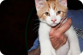 American Shorthair Kitten for adoption in New Egypt, New Jersey - Mylo