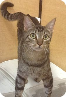 Domestic Shorthair Cat for adoption in Modesto, California - Cisco