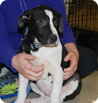 American Pit Bull Terrier Mix Puppy for adoption in White Settlement, Texas - Cathy's Pup 2-Willie-adopt pen